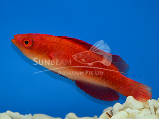 Red-finned Fairy Wrasse