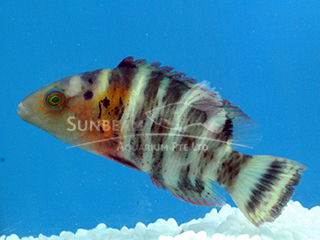 Red Breast Wrasse