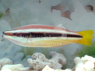 Yellow-tailed Cleaner Wrasse