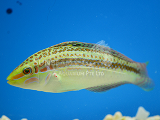 Yellow-lined Wrasse (Female)