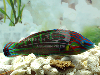 Green Face Wrasse (Male)