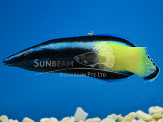 Bicolored Cleaner Wrasse
