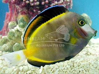 Powder-brown Surgeonfish