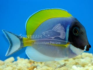 Powder-blue Surgeonfish