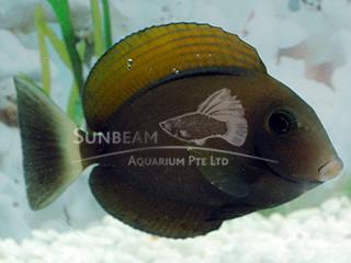 Black Spot Surgeonfish