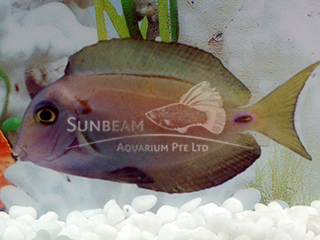 Lieutenant Surgeonfish
