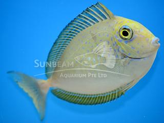 Lopez's Unicornfish