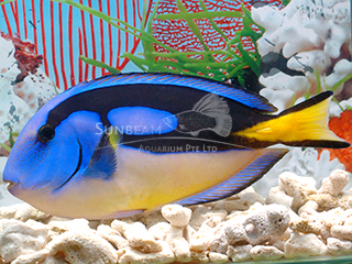 Blue Surgeonfish (Yellow Belly)