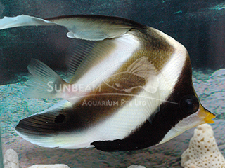 Humpback Batfish