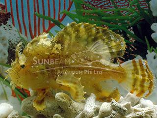 Sargassumfish
