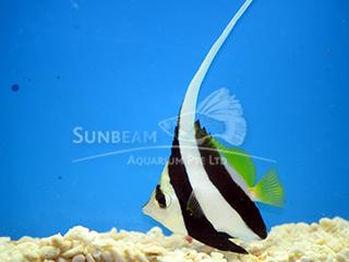 Hi-fin Bannerfish