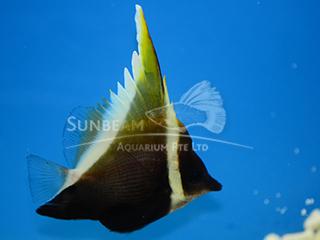 Humphead Bannerfish