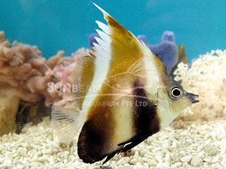 Indian Bannerfish