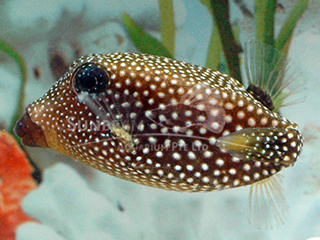 Spotted Boxfish-black (Female)
