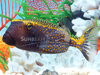 Spotted Boxfish-Blue (Male)
