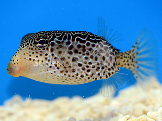 Striped Boxfish-Yellow (Female)