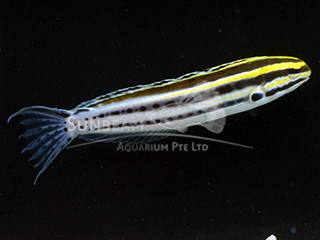 Yellow-striped Blenny