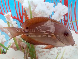 Spot-cheeked Surgeonfish