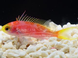 Deep Sea Anthias (Male)
