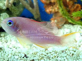 Lyretail Coralfish (Female)