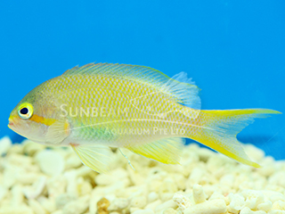 Lyretail Coralfish-Green