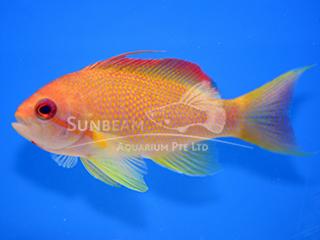 Lyretail Coralfish (Male)