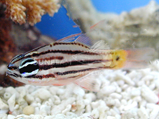 Brown-striped Cardinalfish