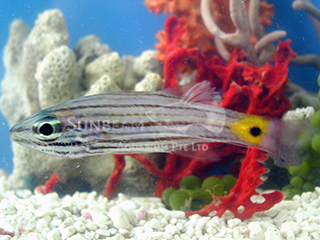 Arrowtooth Cardinalfish