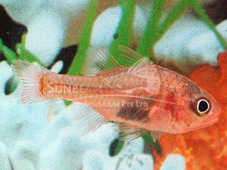 Pink Cardinalfish