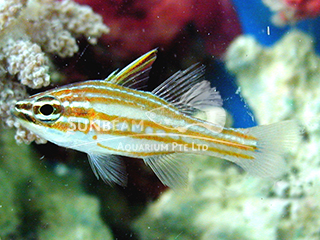 Lattice Cardinalfish