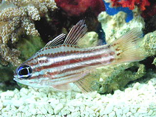 Split-banded Cardinalfish