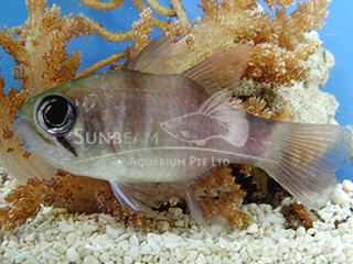 Big-eye Dusky Cardinalfish