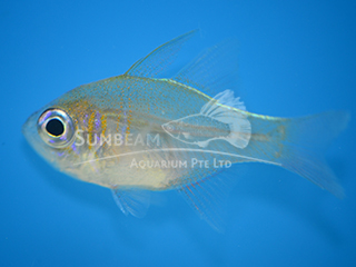 HUMPBACK CARDINALFISH