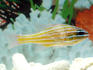 White-jawed Cardinalfish