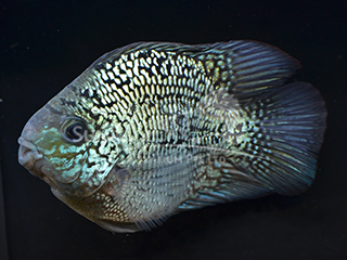 Black Pearl Severum
