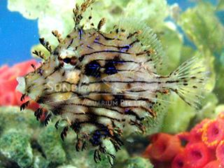 Tussel Filefish