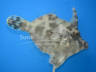 Fan-bellied Filefish