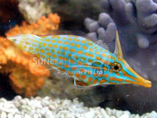 Orangedotted Longnose Filefish