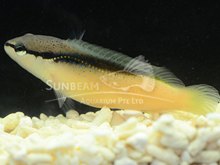 Brown Banded Dottyback
