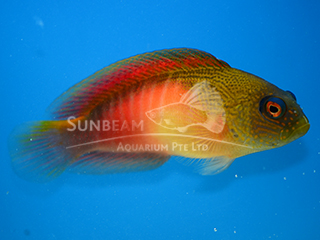 Fire Tail Dottyback