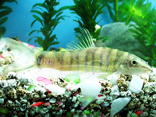 Chinese Golden Loach