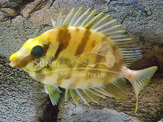 Yellow Black-eyed Rabbitfish