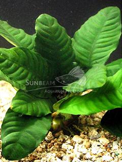Anubias barteri var. coffeefolia-emerge