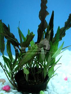 Assorted cryptocoryne plants-emerge