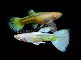 red EYE GOLD guppy
