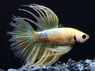 Male Yellow crown tail