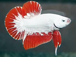 hmpk red dragon platinum