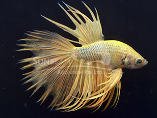 Male Gold crown tail