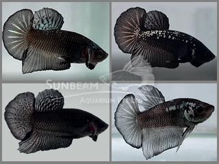 hmpk black mamba (male)