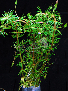 Bacopa myriophylloides in pad